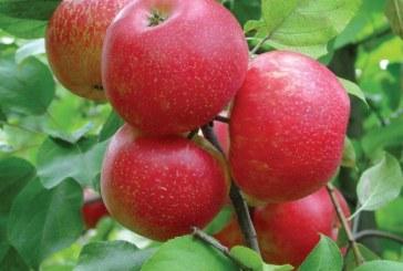 Брането на ябълки е в разгара си