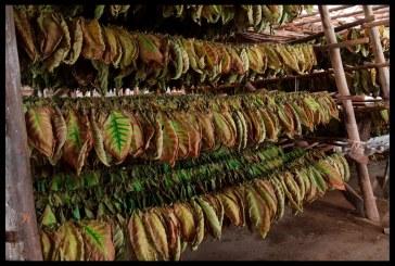 Земеделски стопани вече отказват да гледат тютюн