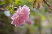 2.50 лева за килограм розов цвят
