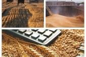 Очаква се значителен износ на пшеница