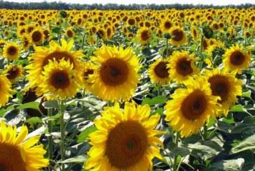 Реколтата от слънчоглед дори не доближава миналогодишните количества