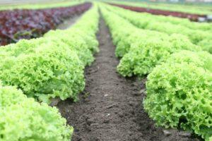 зеленчуци - лехи със салати