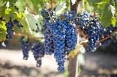 Решение ли е държавата да определя изкупните цени на гроздето