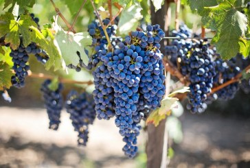 Изкупните цени на гроздето са твърде ниски за реализирането на печалба