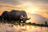 88% ръст в броя на отглежданите биволи в София-област