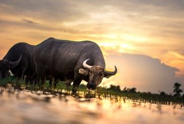 В Област Хасково заявените биволи за директно подпомагане нараства близо два пъти и половина
