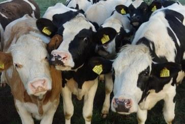 Животновъдите ще получат до 35 млн. лв. през октомври и ноември