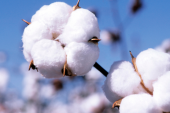 Близо 4,4 млн. лева за памукопроизводителите