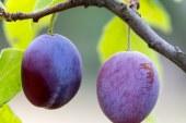 Извънредно подпомагане за производителите на плодове