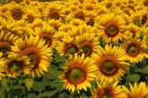 Нови хибриди слънчоглед будят интереса на земеделците
