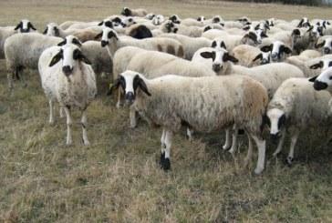 Овцевъдите получиха близо 24 милиона лева по схемата ПНДЖ3