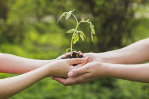 ръце държат младо растение