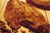 С 54,7 % скочи добива на Ориенталския тютюн