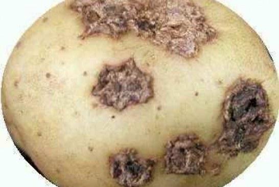 Болести и неприятели по картофите