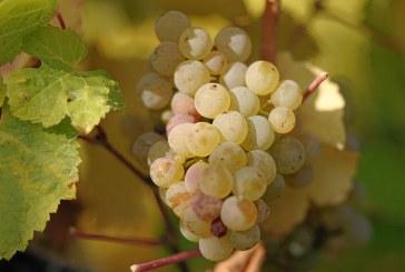 Спокойно и без кражби протича гроздоберът в Пазарджишко