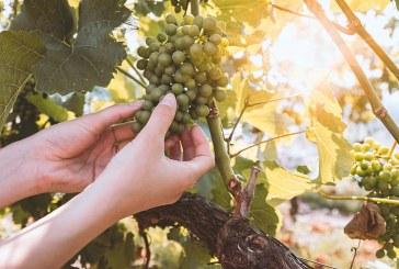 Какви са прогнозите за добивите на грозде