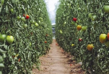 Ранно производство на домати в пластмасови оранжерии
