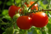Цената на оранжерийния домат е скочила драстично