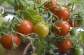 В Пловдивско: Изчезнаха домати и картофи, субсидирани с европари