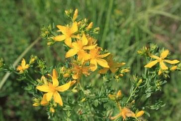 Жълтият кантарион – природният антидепресант