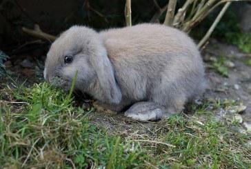Как изглежда болният заек?
