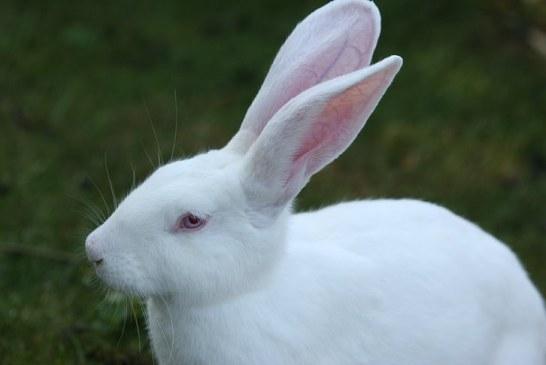 Породи зайци подходящи за промишлено производство на месо