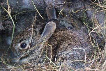 Развъждане на зайците