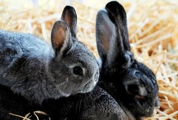 Отглеждане на зайци за разплод и угояване