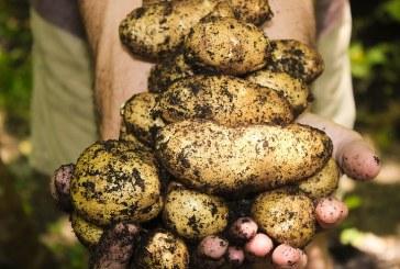 Отглеждане на картофи като втора култура