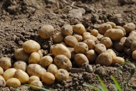 Понижение в производството на картофите, доматите и силажната царевица