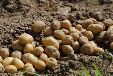 Технология за отглеждане на картофи