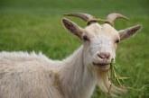 Откраднаха 110 кози от стадо на животновъд в Сливенско (ВИДЕО)
