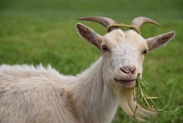 Хранене на категориите кози
