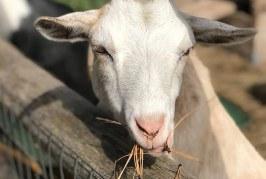 Отглеждане на кози