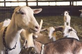 Стопаните ще получават с 25% по-висока ставка за първите 50 крави/биволи и първите 200 овце/кози за обвързано подпомагане в Кампания 2020