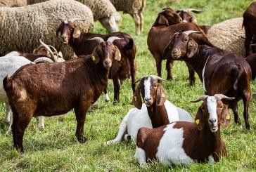 Практически съвети за тези, които искат да развъждат овце и кози