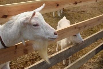 Заразни болести по овце и кози
