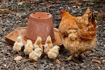 Отглеждане на пилета и кокошки