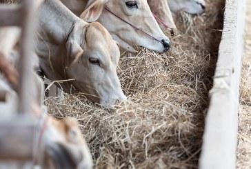Препоръки за хранене на млечни крави