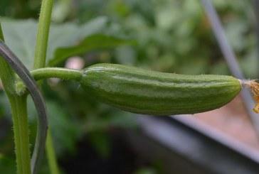 Резитбени операции при отглеждане на краставици в оранжерии с пластмасово покритие като лятно-есенна култура