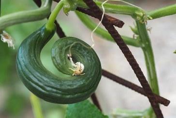 Болести по краставиците