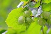 Лешник – биологични особености и агротехника