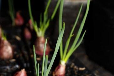 Отглеждане на зелен лук с предзимно засяване или засаждане
