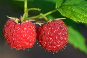 България с възможност да бъде водеща в Европа в производството на малини