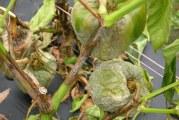 Честите валежи – предпоставка за болести по зеленчуците и плодовете