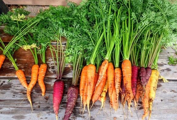 Ранно пролетно производство на моркови с предзимно засяване