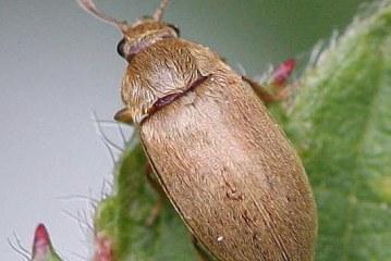 Обикновен малинов бръмбaр