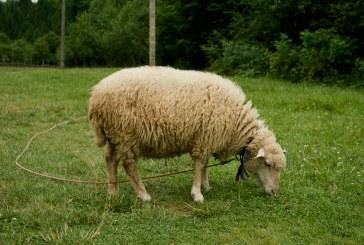 Доене и хранене на овцете