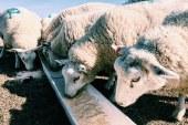 Хранене на овце