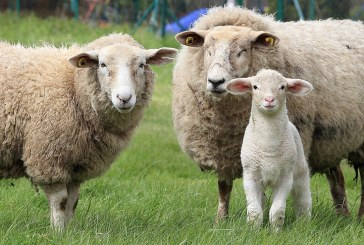 Повишаване плодовитостта на овцете